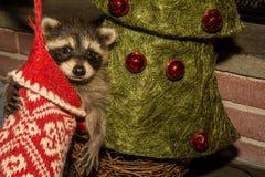 婴孩圣诞节浣熊 免版税库存照片