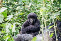 婴孩在大猩猩的山地大猩猩 免版税库存图片