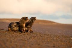 婴孩在海滩的海狮在巴塔哥尼亚 库存图片