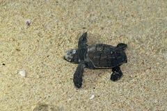 婴孩在海滩的海龟 免版税库存图片