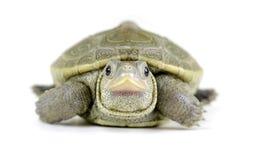 婴孩在白色背景的菱纹背响尾蛇水龟 免版税图库摄影