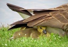 婴孩在羽毛下的加拿大鹅 免版税库存图片