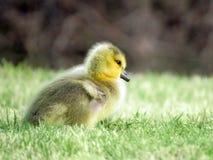 婴孩在草的加拿大鹅戈斯林 免版税库存图片