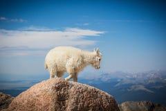 婴孩在14,000只脚Mt伊万斯顶部的石山羊 免版税图库摄影