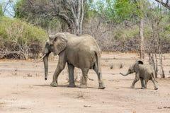 婴孩大象和他的母亲奔跑的 免版税库存图片