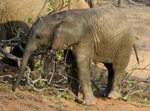 婴孩大象在一个徒步旅行队期间的` s画象在大草原 免版税库存图片