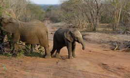 婴孩大象在一个徒步旅行队期间的` s画象在大草原 免版税图库摄影