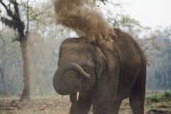 婴孩大象在大象繁殖的中心, Sauraha,尼泊尔 免版税库存图片