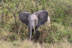 婴孩大象在Krugerpark南非 免版税库存图片