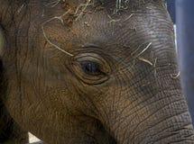 婴孩大象面孔 库存图片