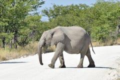 婴孩大象- Etosha,纳米比亚 免版税库存图片