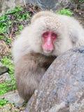 婴孩她的猴子母亲 库存照片