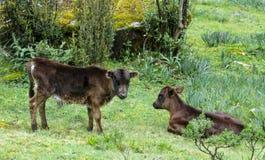 婴孩威胁在草甸的小牛 免版税图库摄影