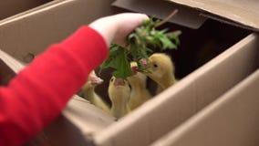 孩子哺养与蒲公英叶子的黄色幼鹅 股票视频