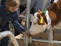 孩子喂养棕色小牛 免版税图库摄影