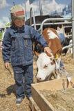 孩子喂养棕色小牛 免版税库存图片