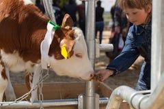 孩子喂养棕色小牛 免版税库存照片
