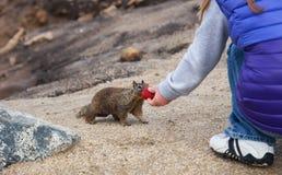 孩子喂养灰鼠 免版税图库摄影