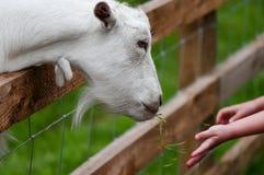 孩子在农场喂养一只白色山羊由篱芭特写镜头 库存照片
