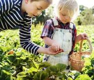 孩子在农场收集草莓 库存照片