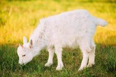 孩子山羊在绿色夏天草吃草在一个晴天 山羊吃 免版税库存照片