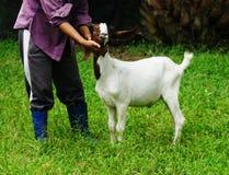 孩子山羊6个月 库存图片