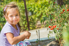 孩子拾起从生态自创庭院的西红柿 建造者 免版税图库摄影