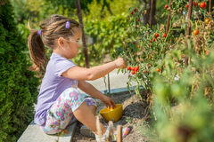 孩子拾起从生态自创庭院的西红柿 建造者 库存图片