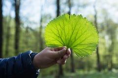 孩子的手拿着一片绿色叶子以春天森林为背景 免版税库存图片