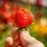 孩子的特写镜头图象递拿着一个草莓 拿着新鲜的草莓的女性在从庭院的收获以后 库存照片