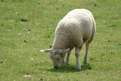 孩子绵羊 库存图片