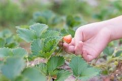 孩子草莓 免版税图库摄影