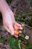 孩子草莓 免版税库存图片