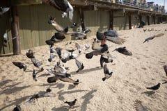 孩子追逐的鸽子 免版税库存图片