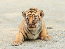 婴孩孟加拉老虎 库存图片