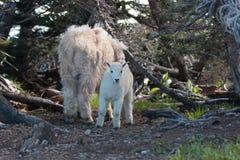 婴孩孩子和母亲保姆在灌木中的石山羊在飓风小山在奥林匹克国家公园在华盛顿州 免版税库存照片
