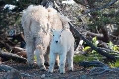 婴孩孩子和母亲保姆在灌木中的石山羊在飓风小山在奥林匹克国家公园在华盛顿州 库存图片