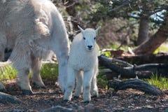 婴孩孩子和母亲保姆在飓风小山/里奇的石山羊在奥林匹克国家公园在华盛顿州 免版税库存照片
