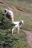 婴孩孩子和母亲保姆在飓风小山/里奇的石山羊在奥林匹克国家公园在华盛顿州 库存图片