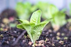 婴孩宝石lettice 库存照片