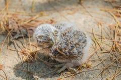 婴孩小猫头鹰 库存照片