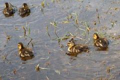 婴孩小的鸭子以一沼泽磅浇灌狂放的自然 免版税图库摄影
