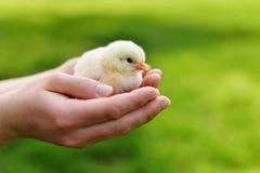 婴孩小鸡在手上 库存照片