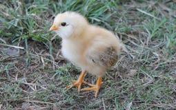 婴孩小鸡在围场 库存图片