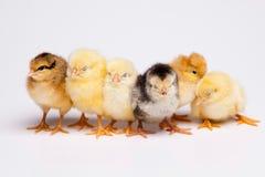 婴孩小鸡,春天五颜六色的明亮的题材 免版税图库摄影