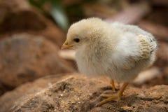 婴孩小鸡 库存照片