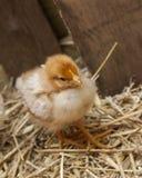 婴孩小鸡 图库摄影