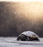 婴孩幼小乌龟在单独的地面和看站立 免版税图库摄影