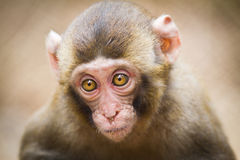 婴孩日本人短尾猿的特写镜头 库存照片
