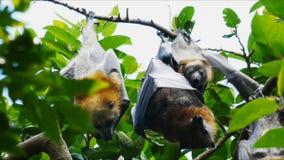 婴孩果实蝙蝠 影视素材